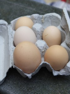 Telur merupakan salah satu hasil ternak ayam yang bermanfaat untuk tambahan nutrisi keluarga