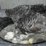 Cara Mudah Membuat Tempat Mengeram untuk Ayam Kalkun