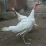 Ayam Kalkun Putih Remaja atau White Holland Turkey Muda