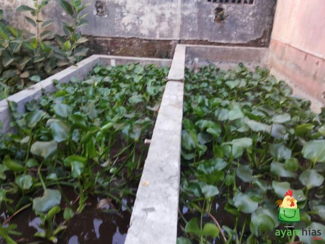 Enceng Gondog Segar Cocok Untuk Pakan Ayam Kalkun dan Hemat