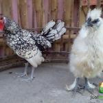 Ayam Batik Itali Umur 5 Bulan dan Ayam Kapas Betina Umur 4 Bulan Pesanan Pak Acai di Jakarta Utara