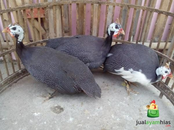 Ayam Mutiara Indukan Persiapan Kirim ke Iwan Rudiawan di Lingkar Selatan Daerah Jambi Selatan
