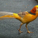 Membaca Peluang Usaha Beternak Ayam Yellow Pheasent