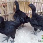 Ayam Cemani Jantan Umur 5 Bulan Siap Kirim ke Daerah Medan Sumatera Utara Tujuan Bandara Kualanamu