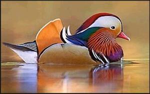 Bebek Mandarin Menikmati Saat di Atas Air