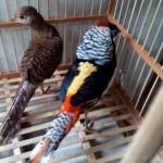 Jual Lady Amherst's Pheasant Dewasa di Jualayamhias.com