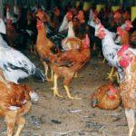 5 Jenis Pakan Ayam Kampung Super