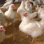 Mempelajari Kebutuhan Nutrisi dan Jenis Pakan Ayam Pedaging