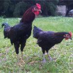 Memelihara Pejantan Ayam Kampung Untuk Tujuan Konsumsi