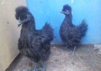 Ayam Kapas Hitam Umur 4 Bulan