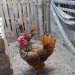 Ayam Batik dan Ayam Poland Pesanan Bapak Edi di Prabumulih