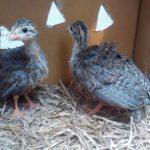 Pengiriman Ayam Mutiara Pesanan Pak Winada di Probolinggo