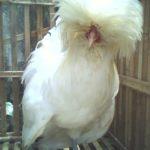 Beberapa Ayam Hias Pesanan Ibu Yuliza di Riau