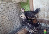 Ayam Batik Itali Umur 1 Bulan Pesanan Ibu Krisna di Jakarta Selatan