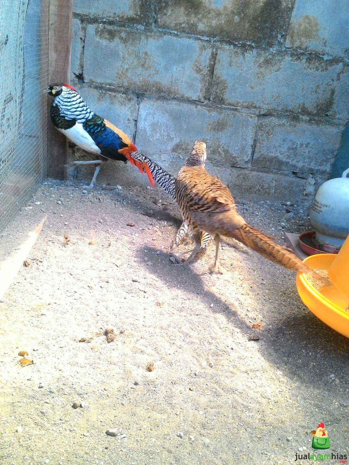 Ayam Lady Amhers Pheasent Dewasa Sepasang (2)