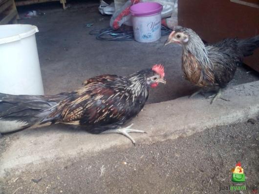 Ayam Phoenix Umur 3 Bulan Sepasang