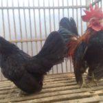 Ayam Serama Indukan Sepasang Pesananan  Bapak Dana di Jakarta
