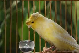 Burung Kenari Lancashire