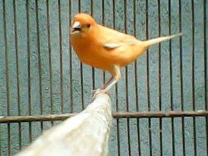 Burung kenari, cara agar kenari cepat birahi, meningkatkan birahi kenari secara alami, pakan kenari agar cepat birahi, mempercepat birahi kenari jantan, cara meningkatkan birahi kenari