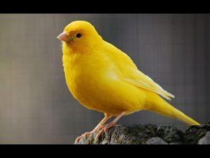 Burung kenari, warna kenari termahal, jenis kenari, kenari yang bagus untuk apa, cara memilih kenari, jenis kenari lokal