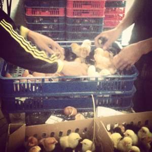 DOC Ayam Kampung Super Berkualitas
