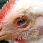 Mengenal 4 Jenis Bibit Penyakit yang Sering Menyerang Ayam Kampung Super