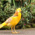 Yellow Pheasant Dewasa Jantan
