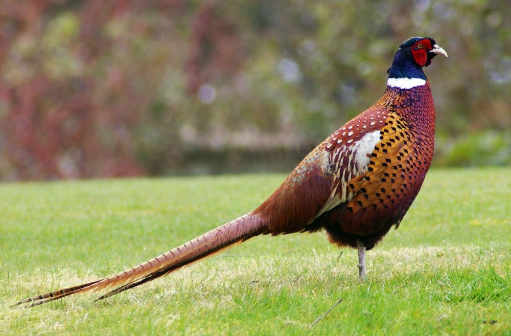makanan ringneck pheasant