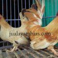 Ayam Kate Dewasa