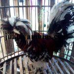 Galeri Foto Ayam Poland Terbaru