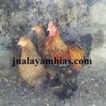 Galeri Foto Ayam Brahma Terbaru