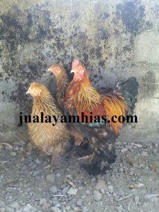 Ayam Brahma Usia 3 Bulan