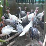 Ternak Kalkun: Mengintip Manisnya Berbudidaya Ayam Kalkun Organik