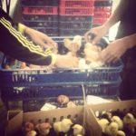 4 Faktor Penting Dalam Budidaya Ayam Kampung Super