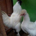 Ternak Ayam Kapas yang Menggemaskan