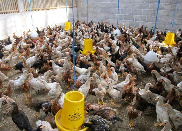 Kandang Ayam Kampung Super