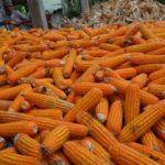 Kementerian Pertanian Menginformasikan Tahun Ini Tak Impor Jagung untuk Pakan Ternak