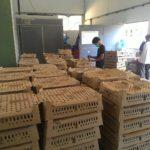 Penjualan DOC Ayam Kampung Super untuk Daerah Medan