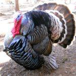Jual Ayam kalkun dari Bibit Sampai Dewasa Siap di Ternakan