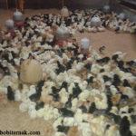 Analisis Usaha Peternakan Ayam Kampung Super  yang Menguntungkan