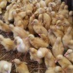 Jenis KandangBebek yang Cocok Untuk Ternak Bebek