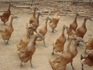 Bebek Pejantan Lokal Sebagai Bebek Pedaging yang Potensial