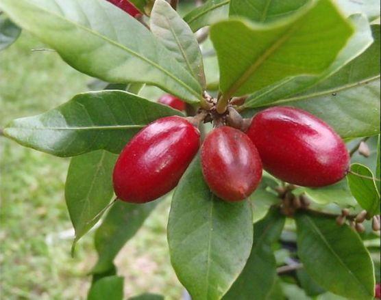 Bibit Buah Miracle fruit buah ajaib