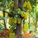 Budidaya buah Nangka