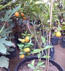 Jeruk mandarin Tabulampot
