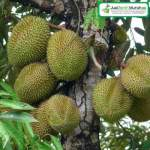 Bibit Durian Musang King 100 cm