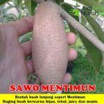 Bibit Sawo Mentimun 70 cm