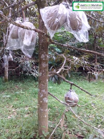 Tanaman Durian Montong