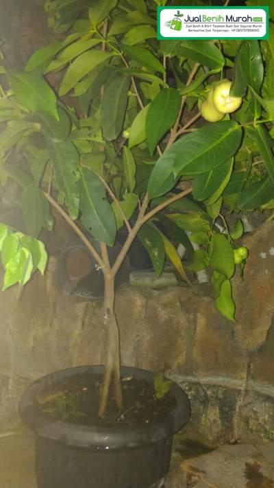pohon Jambu Air Super Green berbuah