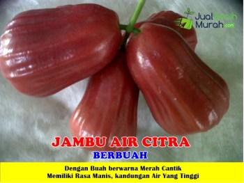 Jambu Air Citra